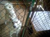 Собаки, щенята Західно-Сибірська лайка, ціна 4500 Грн., Фото