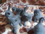 Кошки, котята Британская короткошерстная, цена 1500 Грн., Фото