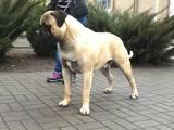 Собаки, щенята Бульмастиф, ціна 10000 Грн., Фото