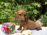 Собаки, щенята Гладкошерста мініатюрна такса, ціна 2000 Грн., Фото
