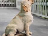 Собаки, щенки Лабрадор ретривер, цена 2500 Грн., Фото