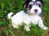 Собаки, щенята Мальтійська болонка, ціна 4000 Грн., Фото