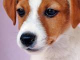 Собаки, щенята Джек Рассел тер'єр, ціна 12000 Грн., Фото