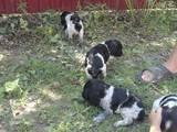Собаки, щенята Російський спаніель, ціна 550 Грн., Фото