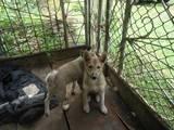 Собаки, щенки Западно-Сибирская лайка, цена 700 Грн., Фото