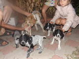 Собаки, щенята Російський спаніель, ціна 12 Грн., Фото
