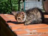Кішки, кошенята Бенгальськая, ціна 5 Грн., Фото