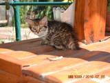 Кошки, котята Бенгальская, цена 5 Грн., Фото