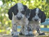 Собаки, щенки Русский спаниель, цена 650 Грн., Фото