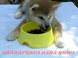 Собаки, щенки Акита-ину, цена 10000 Грн., Фото