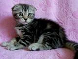 Кішки, кошенята Шотландська висловуха, ціна 1600 Грн., Фото