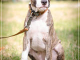 Собаки, щенки Американский стаффордширский терьер, цена 4000 Грн., Фото