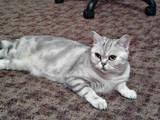 Кошки, котята Шотландская короткошерстная, цена 200 Грн., Фото