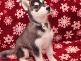 Собаки, щенки Сибирский хаски, цена 5000 Грн., Фото