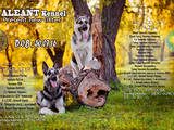 Собаки, щенята Східно-Європейська вівчарка, ціна 12000 Грн., Фото