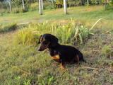 Собаки, щенята Гладкошерста такса, Фото