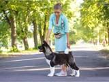 Собаки, щенки Американский акита, цена 15000 Грн., Фото