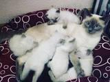 Кошки, котята Сиамская, цена 250 Грн., Фото