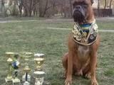Собаки, щенята Боксер, ціна 7000 Грн., Фото