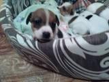Собаки, щенки Джек Рассел терьер, цена 4000 Грн., Фото