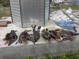 Собаки, щенки Гладкошерстный фокстерьер, цена 2500 Грн., Фото