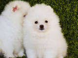 Собаки, щенки Померанский шпиц, цена 22000 Грн., Фото