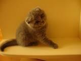 Кішки, кошенята Шотландська висловуха, ціна 900 Грн., Фото