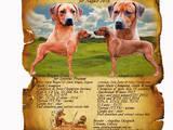 Собаки, щенки Родезийский риджбек, цена 25000 Грн., Фото