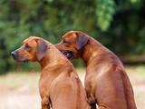 Собаки, щенята Родезійського ріджбек, ціна 25000 Грн., Фото
