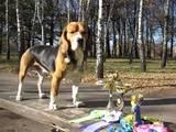 Собаки, щенята Бігль, ціна 10000 Грн., Фото