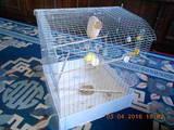 Папуги й птахи Папуги, ціна 400 Грн., Фото