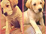 Собаки, щенки Лабрадор ретривер, цена 4950 Грн., Фото