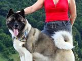 Собаки, щенки Американский акита, цена 37000 Грн., Фото