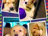 Собаки, щенята Лабрадор ретрівер, ціна 4999 Грн., Фото
