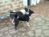 Собаки, щенята Російсько-Європейська лайка, ціна 2500 Грн., Фото