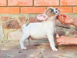 Собаки, щенята Французький бульдог, ціна 7800 Грн., Фото