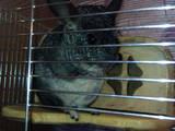 Грызуны Шиншиллы, цена 350 Грн., Фото
