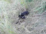 Собаки, щенки Немецкая гладкошерстная легавая, цена 2100 Грн., Фото