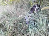 Собаки, щенята Німецька гладкошерста лягава, ціна 2100 Грн., Фото