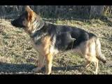 Собаки, щенята Німецька вівчарка, ціна 2200 Грн., Фото