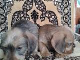 Собаки, щенята Жорсткошерста такса, ціна 3500 Грн., Фото