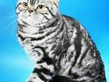 Кішки, кошенята Шотландська короткошерста, ціна 1000 Грн., Фото