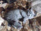 Кошки, котята Шотландская короткошерстная, цена 500 Грн., Фото
