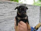Собаки, щенята Чихуа-хуа, ціна 1500 Грн., Фото