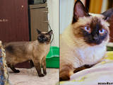 Кошки, котята Сиамская, цена 500 Грн., Фото