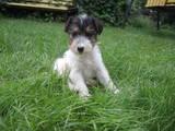 Собаки, щенята Жорсткошерстий фокстер'єр, ціна 2000 Грн., Фото