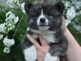 Собаки, щенята Акіта-іну, ціна 13000 Грн., Фото