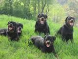 Собаки, щенята Ротвейлер, ціна 50 Грн., Фото