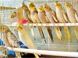 Попугаи и птицы Попугаи, цена 350 Грн., Фото