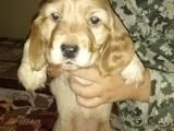 Собаки, щенки Английский коккер, цена 1300 Грн., Фото